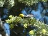 hermit-warbler