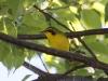 kentucky-warbler