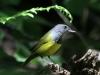 mourning-warbler3