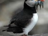 atlantic-puffin-with-fish6