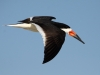 black-skimmer-in-flight
