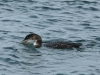 common-loon-and-crab