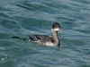 eared-grebe-winter