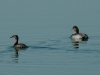 least-and-eared-grebes