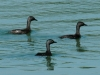 least-grebes