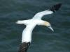northern-gannet-soaring2