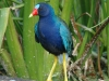 purple-gallinule4