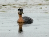 red-necked-grebe