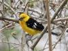007-southern-yellow-grosbeak