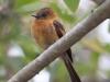 029-cinnamon-flycatcher