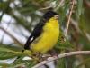 039-lesser-goldfinch