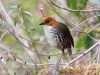 043-chestnut-crowned-antpitta