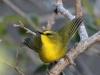 049-black-crested-warbler2