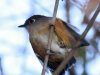 053-rusty-breasted-antpitta