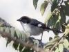 055-white-winged-brush-finch