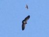 057-black-chested-buzzard-eagle
