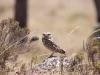 061-burrowing-owl