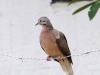 079-eared-dove