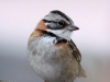 085-rufous-collared-sparrow