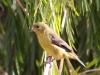 086-lesser-goldfinch-female