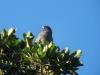 089-red-crested-cotinga