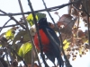 095-scarlet-breasted-mountain-tanager