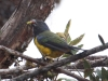 103-black-chinned-mountain-tanager