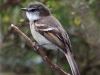 105-white-throated-tyrannulet