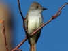 ash-throated-flycatcher2