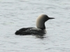 pacific-loon