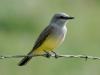 western-kingbird