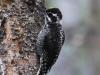 american-three-toed-woodpecker3