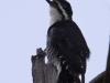 black-backed-woodpecker2