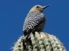 gila-woodpecker