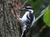 hairy-woodpecker4
