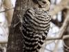 ladder-backed-woodpecker3