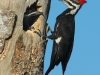 pileated-woodpeckers3