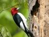red-headed-woodpecker