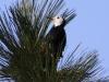 white-headed-woodpecker