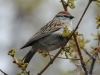 Chipping sparrow2