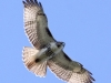 Red-tailed soaring