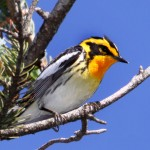 Eastern Birds: Quiz #3