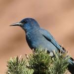 Western Birds: Quiz #3