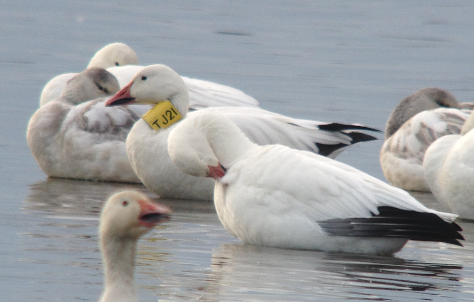 Banded Snow Goose; sighted at Forsythe NWR NJ, Dec. 1, 2014