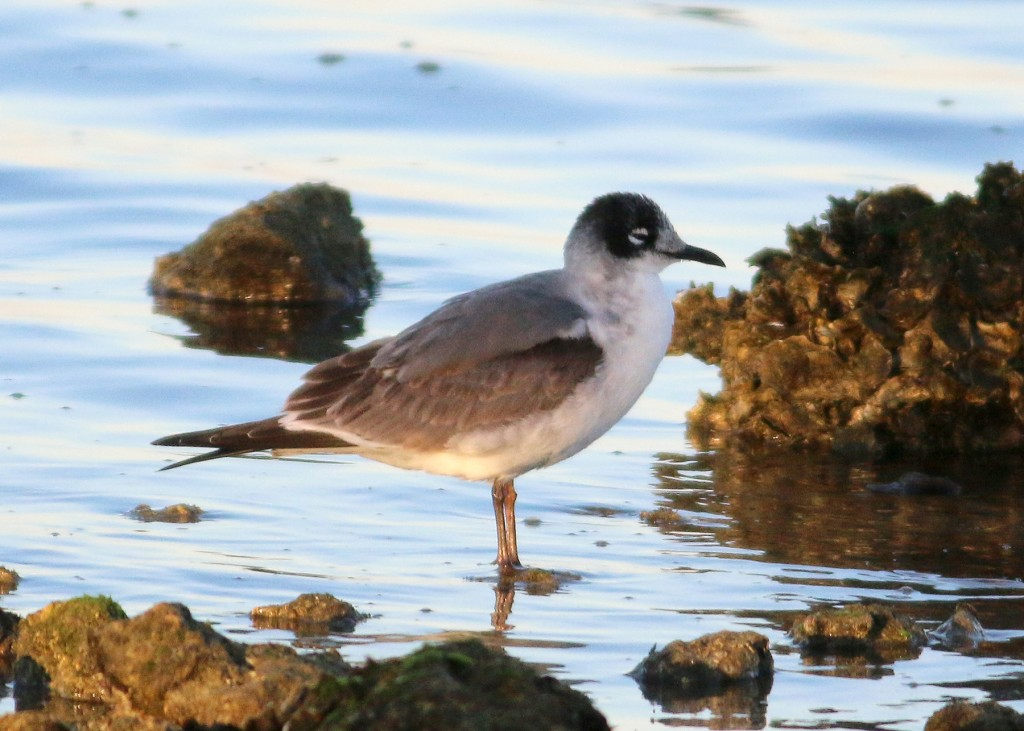 Franklin's Gull winter