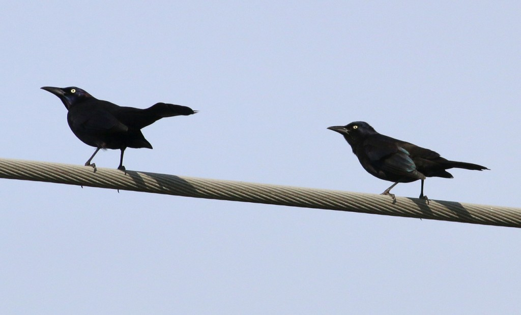 Grackles wire
