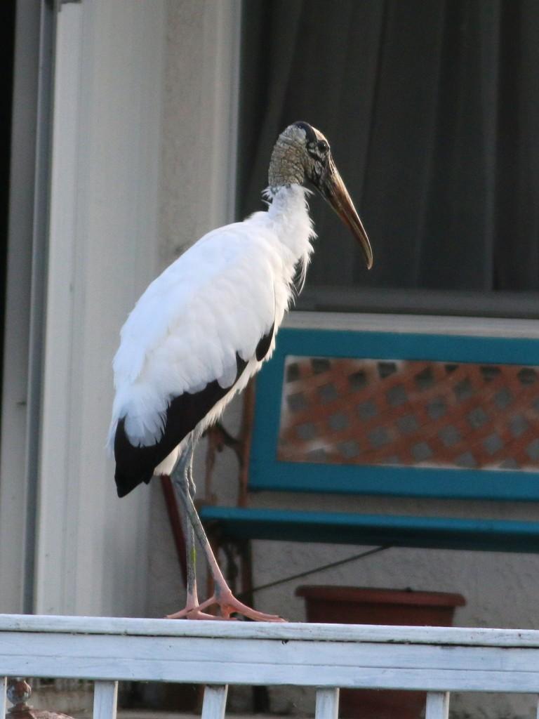 Wood Stork railing