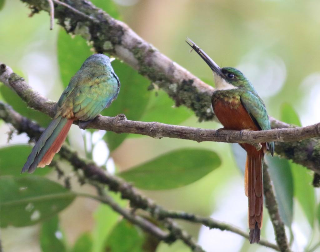 A pair of Rufous-tailed Jacamars