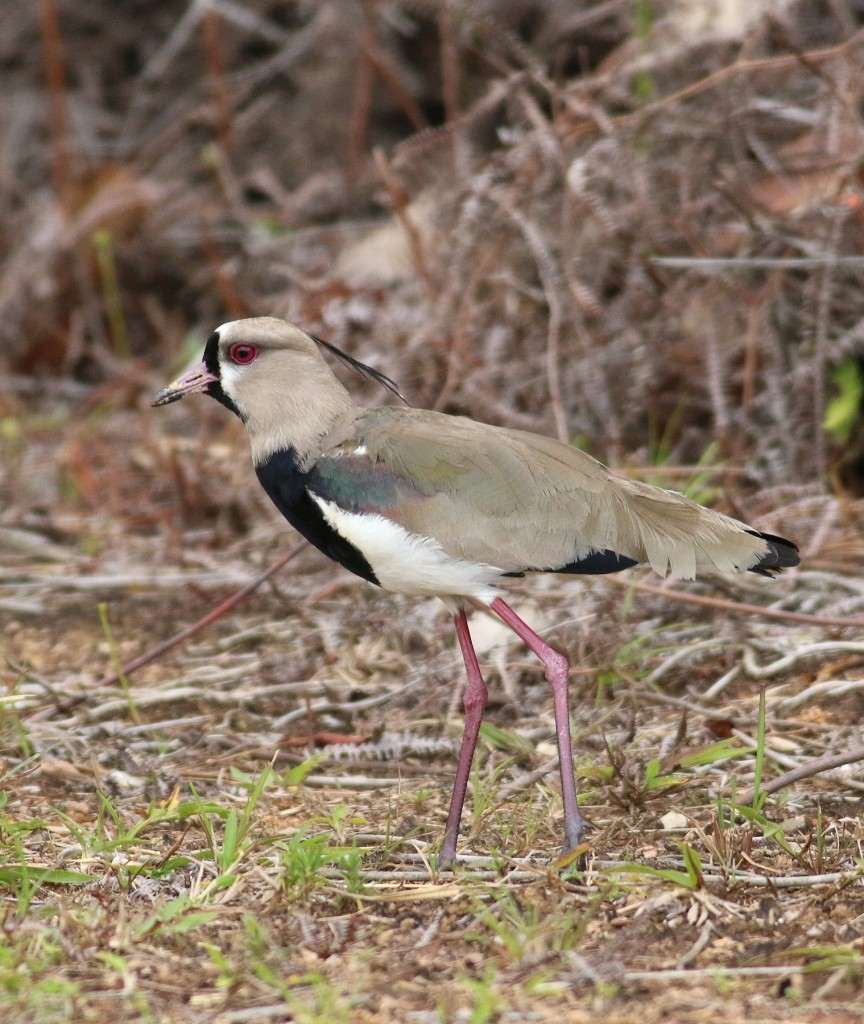 Southern Lapwings can be found in many locations within Trinidad and Tobago, but this individual was particularly cooperative.