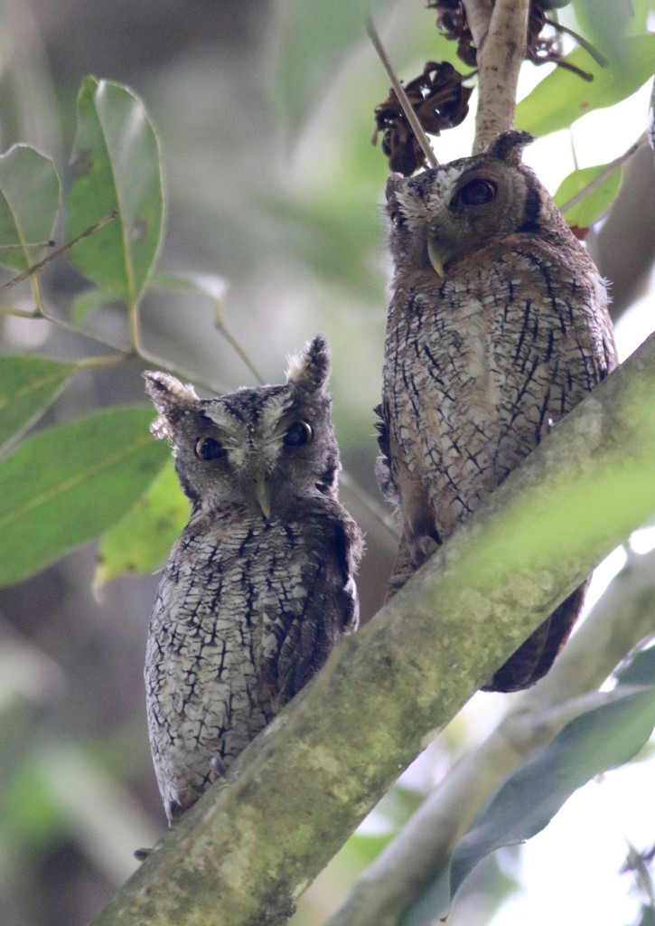 Tropical Screech-owls